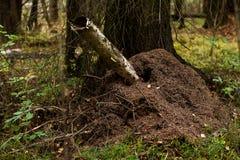 Ameisenhügel im Wald Stockfotos