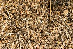 Ameisenhaufen in der Waldgroßen Kolonie von Ameisen stockbilder