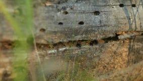 Ameisenhaufen in gefallenem Baum Ruhiger Wald des Sommers stock footage