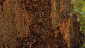 Ameisenhaufen im alten Stumpf stock footage