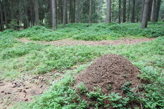 Ameisenhaufen im moutain Wald (DOLOMITI) Stockbild