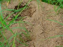 Ameisenhaufen umgeben durch Gras Lizenzfreie Stockbilder