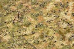Ameiseninsektennaturbaumrindebeschaffenheits-Musterhintergrund lizenzfreie stockfotografie