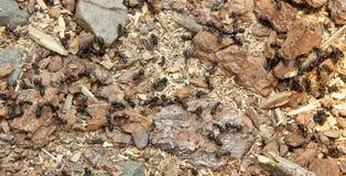 Ameisenkolonie Stockbild