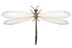 Ameisenlöwespezies Myrmeleon Formicarius stockfoto