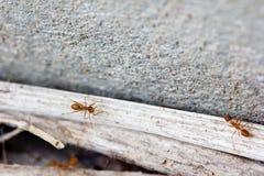 Ameisenleben. Lizenzfreie Stockfotografie