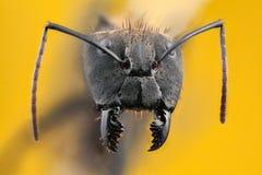 Ameisenporträt mit langen Kiefern Stockbilder