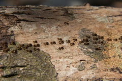 Ameisenreihe Stockbild