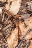 Ameisenzusammenarbeit in der Jagdzeit Lizenzfreies Stockbild