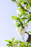 Ameixa da mola ou folhas e flor da cereja Imagem de Stock