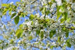Ameixa de cereja Foto de Stock