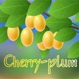 Ameixa de cereja amarela, suculenta, madura, doce que pendura em um ramo de árvore Imagens de Stock