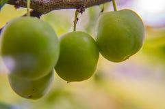 Ameixa de cereja verde em um ramo de árvore fotografia de stock royalty free