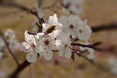 Ameixa de florescência Imagem de Stock