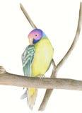 A ameixa dirigiu o Parakeet, imagens de stock royalty free
