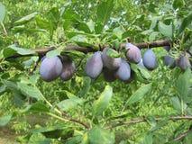Ameixa do fruto Foto de Stock Royalty Free