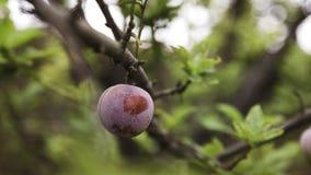 Ameixa em uma árvore Imagem de Stock Royalty Free