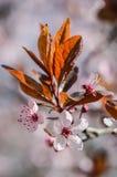 A ameixa floresce a flor Foto de Stock Royalty Free