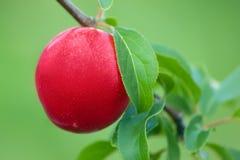 Ameixa madura fresca no ramo de árvore Imagem de Stock Royalty Free