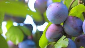 Ameixa madura no ramo da árvore de ameixa video estoque