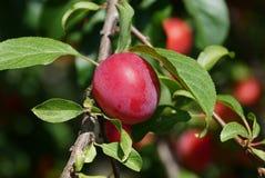 Ameixa madura vermelha em um ramo com folhas verdes Fotos de Stock Royalty Free