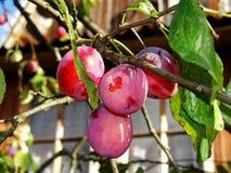 A ameixa roxa madura frutifica entre as folhas verdes em um ramo de árvore Imagem de Stock