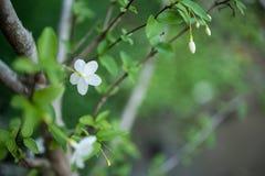 Ameixa selvagem branca da água no bokeh Foto de Stock Royalty Free
