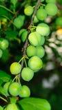 Ameixa verde Imagens de Stock