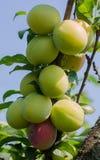 A ameixa verde sae do fundo fotografia de stock royalty free