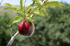 Ameixa vermelha na árvore Fotografia de Stock Royalty Free