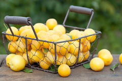 Ameixas amarelas Imagens de Stock Royalty Free