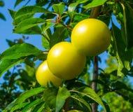 Ameixas amarelas Imagem de Stock Royalty Free