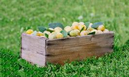 Ameixas amarelas frescas Frutos maduros em uma caixa de madeira na grama imagens de stock