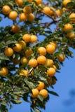 Ameixas amarelas maduras na árvore Árvore de fruto Foto de Stock Royalty Free