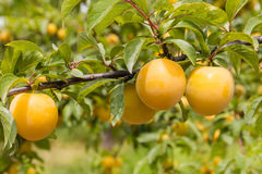 Ameixas amarelas que amadurecem na árvore no pomar da ameixa Foto de Stock
