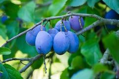Ameixas azuis frescas Fotografia de Stock