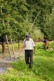 Ameixas da colheita Imagens de Stock Royalty Free