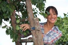 Ameixas da colheita da mulher Foto de Stock