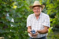 Ameixas da colheita do homem superior em um pomar Fotografia de Stock Royalty Free