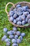 Ameixas de ameixa frescas (insititia do Prunus) Fotos de Stock Royalty Free