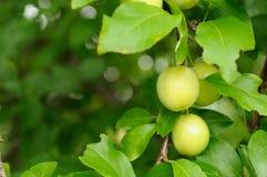Ameixas de cereja na filial Fotografia de Stock