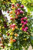 Ameixas em um ramo da árvore de ameixa Imagens de Stock Royalty Free