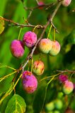 Ameixas maduras Fotos de Stock