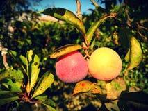 Ameixas maduras de várias cores no ramo completamente das folhas fotografia de stock royalty free