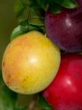 Ameixas maduras e saborosos na árvore no jardim Fotografia de Stock Royalty Free