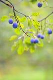 Ameixas maduras na árvore Fotografia de Stock Royalty Free