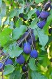 Ameixas maduras no ramo Fotografia de Stock