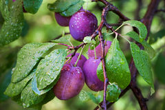 Ameixas maduras no ramo com orvalho Fotografia de Stock Royalty Free