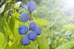 Ameixas maduras no ramo no jardim A estação da colheita está vindo fotografia de stock