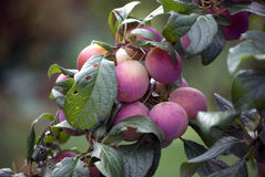 Ameixas maduro, gordo (Prunus Rosacea) Fotos de Stock Royalty Free
